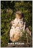 American Bald Eagle 061717-2903-W.jpg (RobsWildlife.com © TheVestGuy.com) Tags: alaska 061717 wild wildlife robswildlife tourismalaska robdaugherty americanbaldeagle eagle robswildlifecom baldeagle
