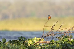 0722 Kingfisher (Hrvoje Simich - gaZZda) Tags: outdoors animals kingfisher noperson chitwan nepal asia nikon nikond750 sigma150500563 gazzda hrvojesimich