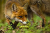 Fox flashback (adambotond) Tags: fox red vulpesvulpes vulpine outdoor animal carnivore carnivora börzsöny börzsönyliget wildanimal wildlife wildlifephotography wilderness april spring adambotond nature naturephotography canon canoneos6d canonef300f28lusm telephoto magyarország mammal hungary europe róka vörösróka forest grass redfox