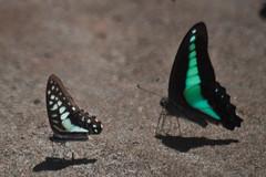Graphium doson axion (Common Jay) - a dwarf, with G. sarpedon for comparison. (GeeC) Tags: animalia arthropoda butterfliesmoths cambodia commonjay graphium graphiumdosonaxion insecta kohkongprovince lepidoptera nature papilionidae papilionoidea tatai truebutterflies
