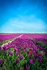 The summit of Dutch (http://www.paradoxdesign.nl) Tags: fleur blumen tulpe tulip tulp purple red blue horizon landscape dutch holland netherlands flevoland field agriculture flowers spring colors