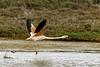 Flamenco Rosado (HerrGony) Tags: aves delta river agua flamenco flamingo flamencos