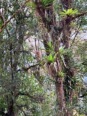 PURULHA, GUATEMALA - Ranchitos del Quetzal/ ПУРУЛЬХА, ГВАТЕМАЛА - Ранчитос-дель-Кетцаль (El Ruso AG) Tags: гватемала гватемальский guatemala guatemalan guatemalteco centralamerican centralamerica centroamerica центральнаяамерика центральноамериканский verapaz purulha quetzal reserve reserva cloudforest облачныйлес пурульха пурулха верапас кетцаль