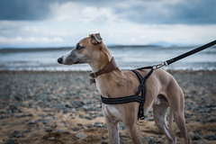 Anglesey Beach (AdamDawsonPhotography) Tags: dog whippet nikond750 puppy garden beach outdoors pet animal nature cute
