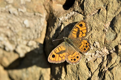 A butterfly and its shadow (Fabio Polimadei) Tags: butterfly macro nature lepidoptera insect shadow stone papillon farfalla mariposa wildlife bug