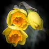 Daffs (Jez22) Tags: orange yellow daffodil nature spring flower floral beauty bloom beautiful fresh narcissus colorful springtime blooming closeup flora flowers bright natural color copyright jeremysage