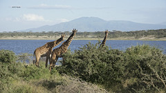 Giraffes at Lake Ndutu (featherweight2009) Tags: masaigiraffe giraffatippelskirchi giraffes mammals africa
