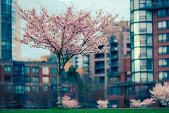 Cherry Blossoms (Mindfuel Photography) Tags: april spring park tree city urban vancouver blossoms cherry
