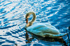 Look at me! (bharathputtur122) Tags: blue swan bird water reflection sunny light curve neck ripple country uk posing pose nikon d700 blackpark