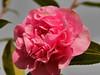 Pink Camellia (Karls Kamera) Tags: camellia pink flower shrub