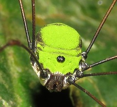 harvestman (Birdernaturalist) Tags: arachnida costarica opiliones richhoyer