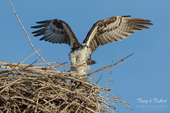 Osprey spreads its wings