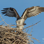 Osprey spreads its wings thumbnail