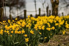Springtime in Billinge (ianbonnell) Tags: springtime billinge sthelens merseyside wigan lancashire