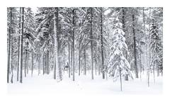 A winter blanket (Andreas Larzon Photography) Tags: fujinonxf1855mmf2840 fujixt1 landscape naturephotography pinetree snow storuman sverige sweden västerbottenslän winter woodlandphotography nature forestlandscape