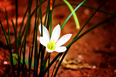 Flower of Grass. (roanfourie) Tags: nikon d3400 nikkor 70300mm ed dx afp vr f63 dslr flickr flick southafrica africa randfontein photography raw gimp day outdoors march302018 march 2018 macro plant plants flower flowers garden nature naturephotography floraofsouthafrica art white grass lomo