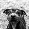 Mother_Gothel08Apr201813-Edit.jpg (fredstrobel) Tags: dogs pawsatanta phototype atlanta blackandwhite usa animals ga pets places pawsdogs decatur georgia unitedstates us