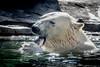 Down the Hatch (helenehoffman) Tags: arctic bear polarbearplunge conservationstatusvulnerable mammal fish ursusmaritimus sandiegozoo ursidae polarbear animal wildlife marinemammal