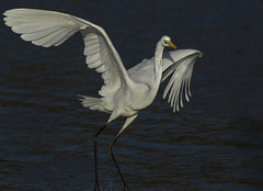 Great Egret - Back from near extinction (Ann and Chris) Tags: avian bird amazing egret feathers gorgeous beautiful greatwhiteegret great lake outdoors stunning wildlife wild wings water waterbird white