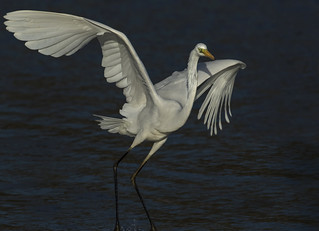 Great Egret - Back from near extinction