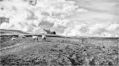 Bink House . (wayman2011) Tags: fujifilm23mmf2 lightroomfujifilmxpro1 wayman2011 bwlandscapes mono rural farms derelict sheep tracks pennines dales teesdale harwood countydurham uk