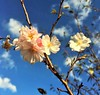 ~ Blue Skies, and Pink Blossoms .... (~ Cindy~) Tags: cherryblossoms blueskies 7dwf floral 2018 spring tennessee