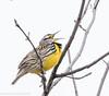 Singing for Spring (rdroniuk) Tags: birds smallbirds passerines meadowlark easternmeadowlark sturnellamagna oiseaux passereaux sturnelledesprés