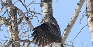 Great Gray Owl  9196