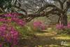 Azalea Avenue, Magnolia Plantation (Del.Higgins) Tags: magnolia plantation spring bloom azaleas azalea live oak spanish moss charleston gardens