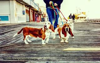 Strolling on the boardwalk ~ rescued hounds on Delmarva