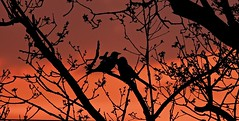Two For Joy (Deepgreen2009) Tags: magpies two joy silhouette sunset together perched glow orange wildlife crow