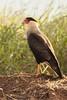 caracará - caracara plancus (ricardo japur) Tags: animals wild nature fauna cerrado