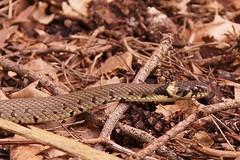 Yorkshire Wildlife Park 14.04.18 619 (Andrew Burling (SnapAndy1512)) Tags: yorkshirewildlifepark yorkshire snake snakes animals zoo yorkshirewildlifepark140418