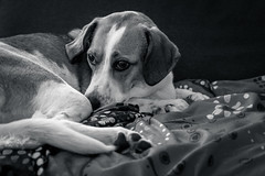 I won't fall asleep [day 125] (gerlos) Tags: dogs doglikemammal carnivoran pets anyvision snout monochromephotography 365project english whiskers beagle puppy italian cani photography dog cane 365 dogbreed blackandwhite monochrome labels canon