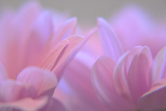 DSC_0010 (Kleinehobbyfotografie) Tags: zart rosa lila drausen natur leicht blumenbild flower flowers flowerphoto flowerpower bunt blume blumen blüte blüenbilder