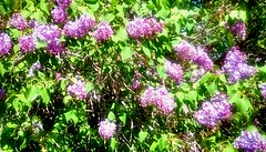 Lilacs! (Maenette1) Tags: lilacbushes flowers purple spring menominee uppermichigan flicker365 allthingsmichigan absolutemichigan projectmichigan