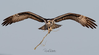 Osprey of the Jersey Shore | 2018 - 25