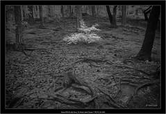 Sony A7R IR with Sony 16-35mm Vario-Tessar T FE F4 ZA OSS (Dierk Topp) Tags: a7r bw bäume ilce7r ir sony1635mmvariotessartfef4zaoss sonya7r sonya7rir architecture harz infrared infrarot monochrom sw sony trees wald wood