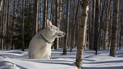 Weisser schweizer schäferhund (petrinieminen1) Tags: koira hund perro dog weisserschweizerschäferhund winter snow