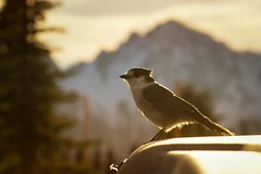 a Brief Visit (writing with light 2422 (Not Pro)) Tags: bird grayjay mrnp mountrainiernationalpark gertrude richborder sonya77 sunset