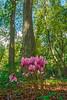 Oriental Hornbeam Tree with Flowers (fotofrysk) Tags: orientalhornbeamtree carpinusorientalis flowers arboretumtrsteno thevilla guceticgozzefamily arboretum treegarden istriamontenegroroadtrip e65highway croatia trsteno adriaticcoast dalmatiancoast sigma1750mmf28exdcoxhs nikond7100 201710100885