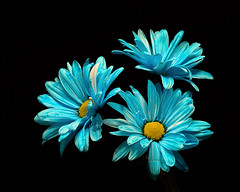 Blue Daisy Trio 1117 (Tjerger) Tags: nature flower flowers blooms blooming daisy daisies plant natural flora floral blackbackground portrait beautiful beauty black fall wisconsin macro closeup white yellow blue three trio