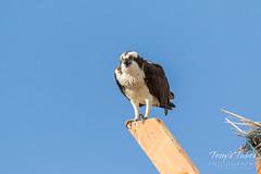 Osprey chows down on breakfast