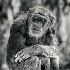 Hey Brother (Thomas Hawk) Tags: animal ape bayarea california sfbayarea sanfrancisco sanfranciscobayarea sanfranciscozoo usa unitedstates unitedstatesofamerica bw chimp chimpanze chimpanzee monkey zoo us fav10 fav25