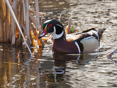 Not Bothered (Doug Scobel) Tags: wood duck aix sponsa kensington metropark waterfowl bird wildlife nature