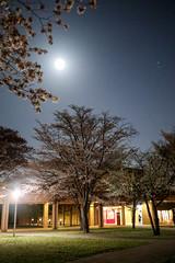 night in the Tokyo University of Foreign Studies (sapphire_rouge) Tags: cherry fuchu sakura 府中 cherryblossom 桜 girl student night lady