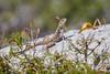 Agama Lizard_w_2257 (Daly Wildlife) Tags: protaras ammochostos cyprus cy