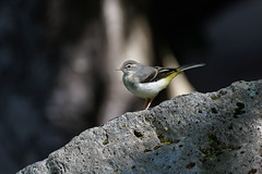 a Wagtail on a rock (Franck Zumella) Tags: waterfall wagtail yellow bergeronnette jaune riviere chute eau water bird oiseau nature animal wildlife blanc gris grey white