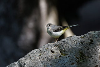 a Wagtail on a rock