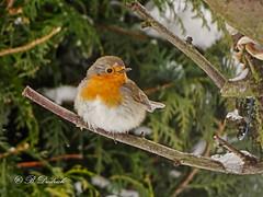 Rotkehlchen im Winter look (Fotoamsel) Tags: natur rotkehlchen tiereimgarten vögel goslar niedersachsen deutschland